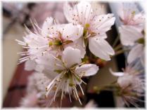 2011桜③