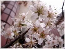 2011桜②