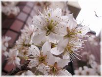 2011桜①