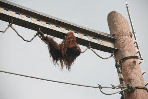 旭山動物園オランウータン