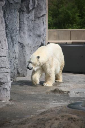 旭山動物園しろくま