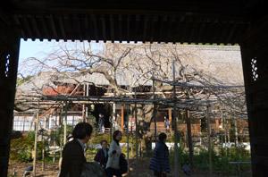 枝垂桜blog01