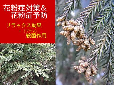 花粉症対策・予防に杉茶!