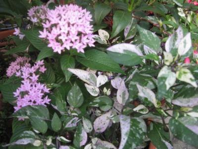 ペンタスと花トウガラシ斑入り