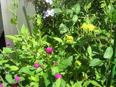 千日香とオミナエシ