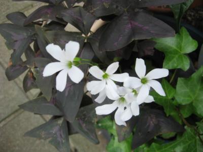 紫の舞 白花