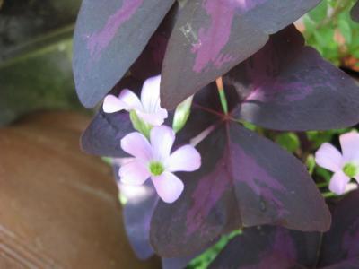 紫の舞 桃色花