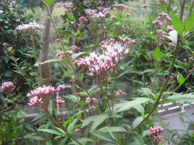 フジバカマ 花