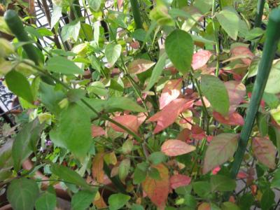 コエビソウの紅葉