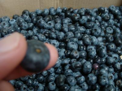 大粒のブルーベリー