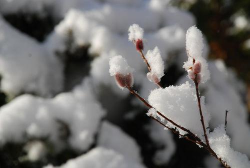 雪を被ったピンクネコヤナギ4