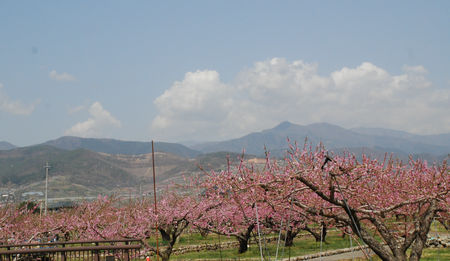 桃の花のある風景7