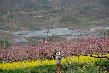 桃の花のある風景14