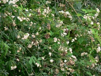 白木香バラ