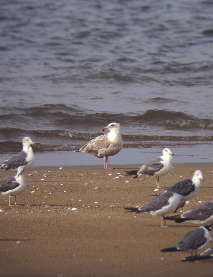 オオセグロカモメ幼鳥IMG_331