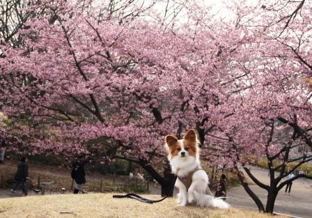 河津桜前で