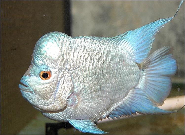 Cobalt Blue Flowerhorn