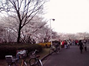大泉緑地 2012 桜広場(外側から:その1)