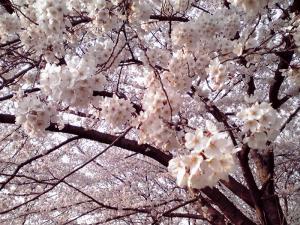 大泉緑地 2012 桜広場の桜(その1)