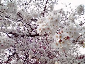 大泉緑地 2012 桜広場の桜(その2)