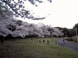 大泉緑地 2012 双ヶ丘の桜(西から)