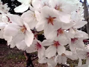 大泉緑地 2012 双ヶ丘の桜(アップ)