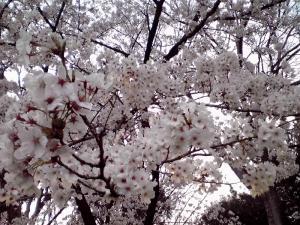 大泉緑地 2012 双ヶ丘の桜(下からの撮影:その1)