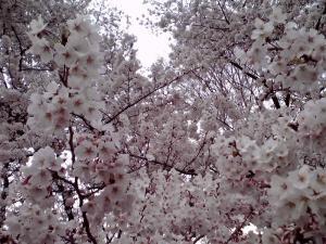 大泉緑地 2012 双ヶ丘の桜(下からの撮影:その2)