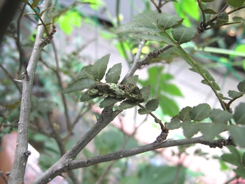 ナミアゲハチョウの1か2齢の幼虫