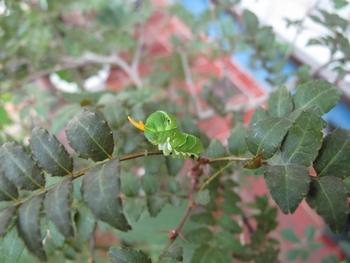 ナミアゲハチョウの5か6齢の幼虫