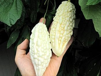白ゴーヤ 初収穫