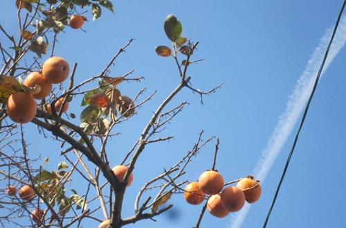 飛行機雲と柿