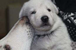 W÷シェパード子犬