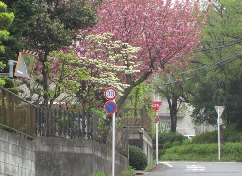 ベティちゃんの八重桜と花水木
