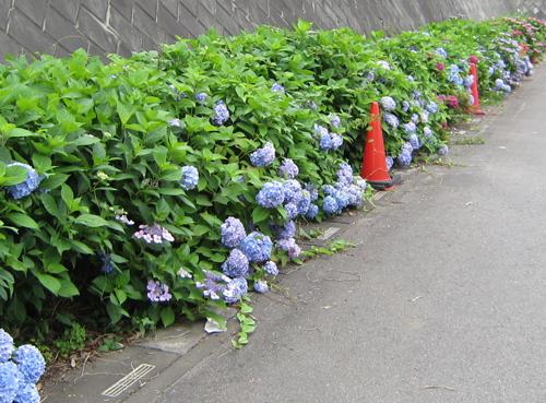 小学校の紫陽花−1