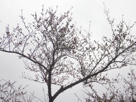 近所の桜 4月下旬