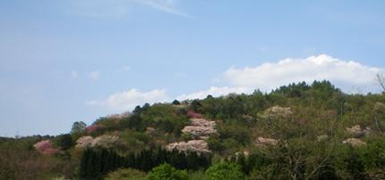 山のサクラ