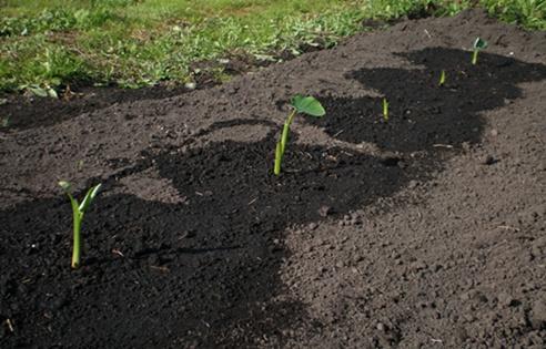 サトイモ植えつけ