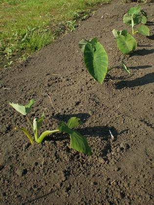 サトイモに追肥 6月下