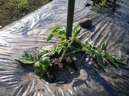 大玉 わき芽を植えつけ