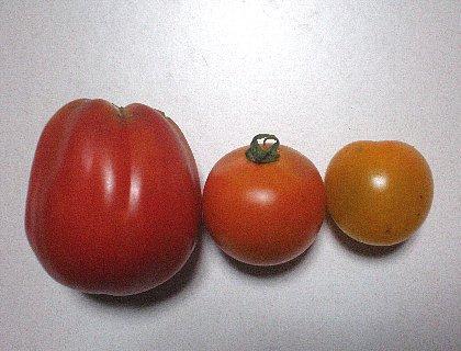 昨日採れたトマトは