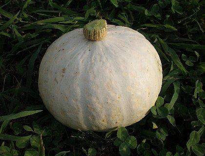 白皮かぼちゃ
