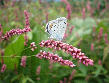 アカマンマと蝶