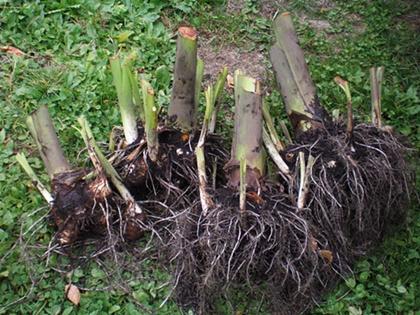 サトイモ収穫  右2株=『石川早生』