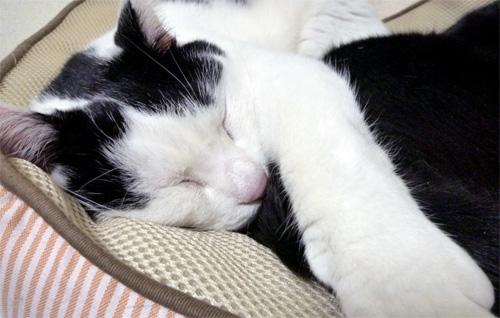 寝てる白黒猫