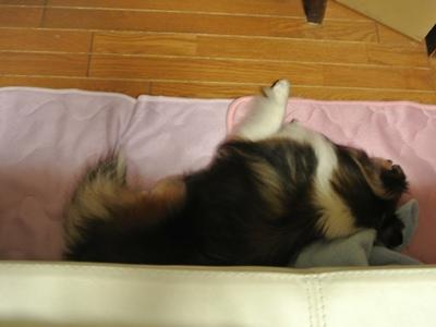 2012.5.19 風呼ちゃんは毛布の上でねんね