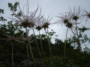 201108燕岳_蝶ヶ岳のお花06