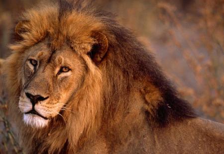 african-lion-closeup_convert_20120601073415.jpg