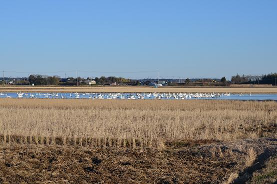 20131229白鳥の郷 (8)
