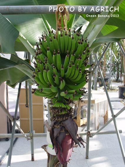 onsen banana 2013-1